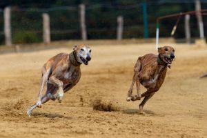 sportliche-Hunde